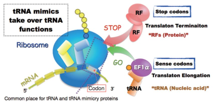 nonsense codons in protein synthesis